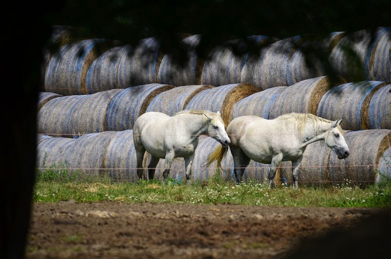 Horses Animal