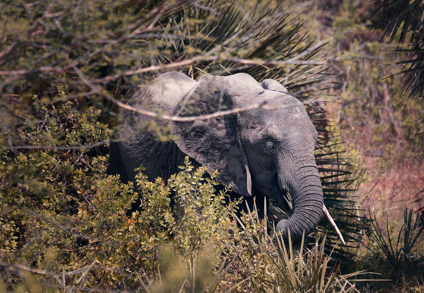 African Elephant eating Animals In The Wild Nature African Elephant Animal Animal Body Part Animal Themes Animal Trunk Animal Wildlife Animals In The Wild Day Elephant Herbivorous Land Mammal Nature Nature_collection No People One Animal Outdoors Plant Safari Side View Tree Vertebrate Wildlife