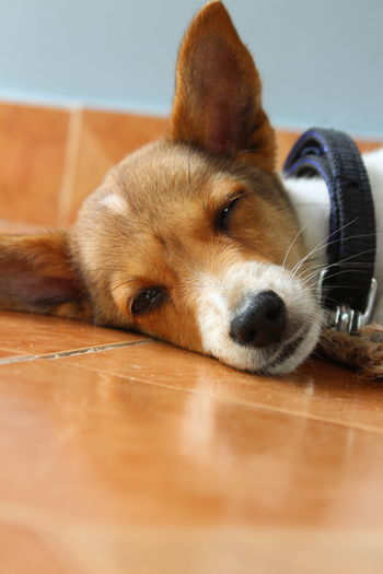 Bala_photography Canon1300d Myclicks Lovephotography  Cameraview Focus Try No People Eveningshot Lying Down Lucky Beagle Pets Dog Portrait Lying Down Sitting Hardwood Floor Close-up Puppy Animal Nose