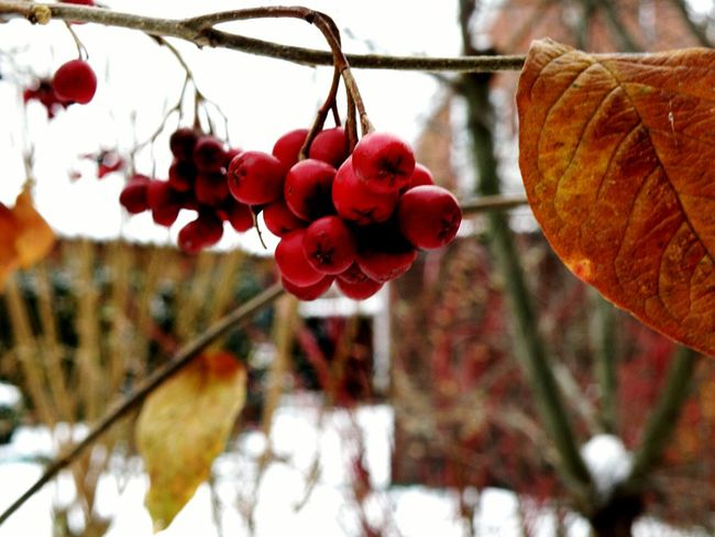 Nature Flowers Red Leaves Winter Snow Jork Germany Exploring My World Traveling Urban Nature