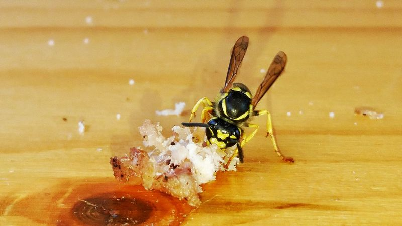 Wasps🐝 Wasp Eating Wasp Close Up One Animal Animal Themes No People Macro Insects Insect Close-up