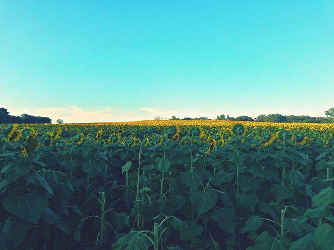 Sunflower Taking Photos Beautiful Day Sunflowers🌻 EyeEm Gallery FlowerpornFlowerporn