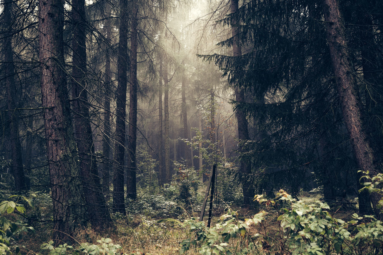 forest, tree, nature, tree trunk, woodland, no people, plant, day, outdoors