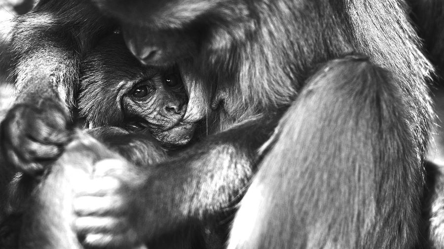 Close-Up Of Infant Feeding Milk From Monkey