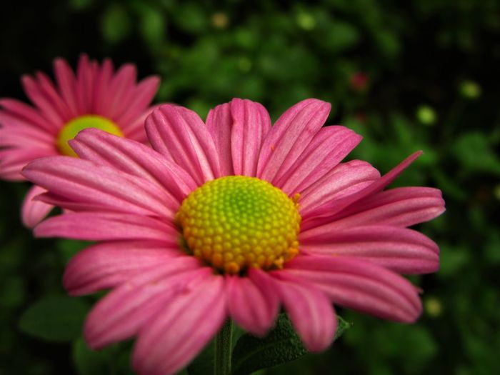 No People Outdoors Flower Plant Flower Head Petal Close-up Nature Pink Color Growth