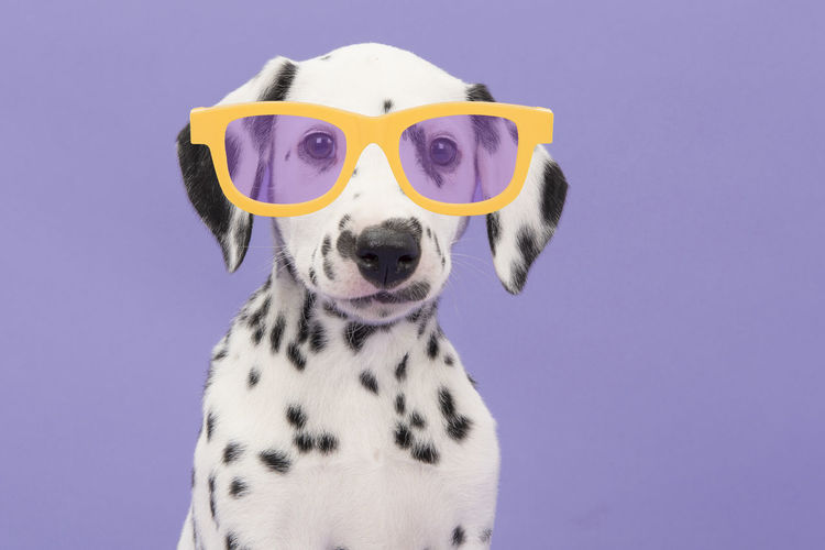Portrait of a cute dalmatian puppy dog wearing yellow glasses on a purple background Dalmatian Dalmatian Dog Puppy Cute Puppy Purple Background Glasses Animal Pets Dog Cute Dog  Canine Pet Photography
