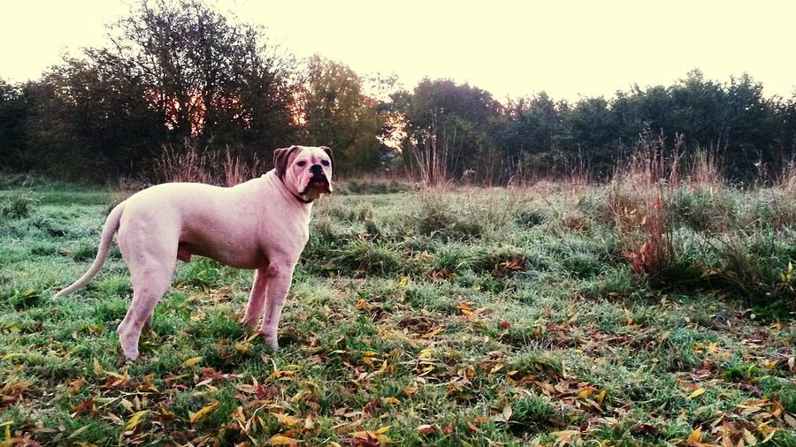 Belhus Nature On Your Doorstep Petstagram Walking The Dog American Bulldog EyeEm Nature Lover Essex