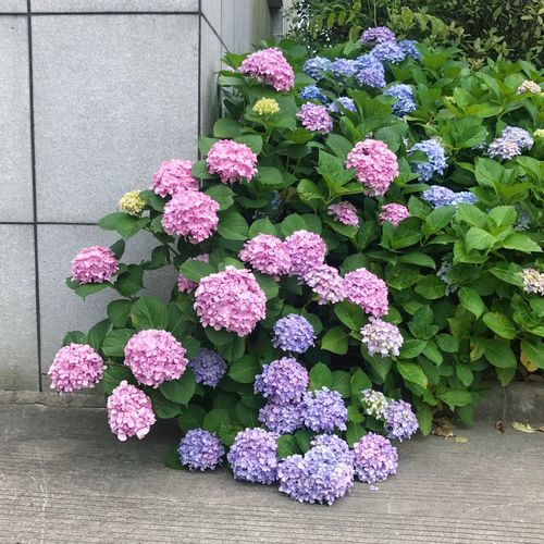 Flower Nature Plant Beauty In Nature 植物 紫阳花 绣球