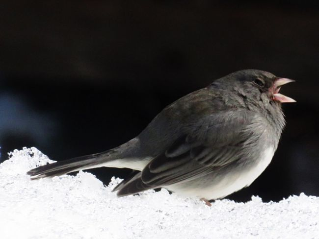 Bird One Animal Animals In The Wild Winter Animal Themes Snow No People Close-up Cold Temperature Nature Animal Wildlife Day Outdoors Perching Darkeyedjunco Yawning
