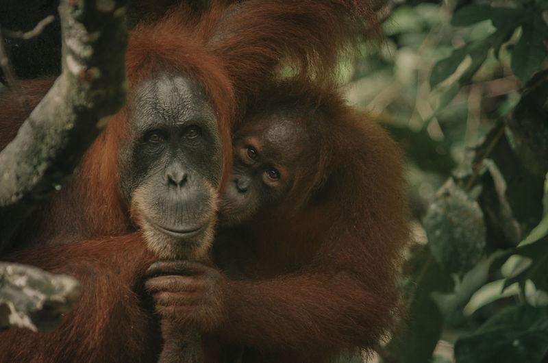 Wild orangutan in the jungle, sumatra, bukit lawang