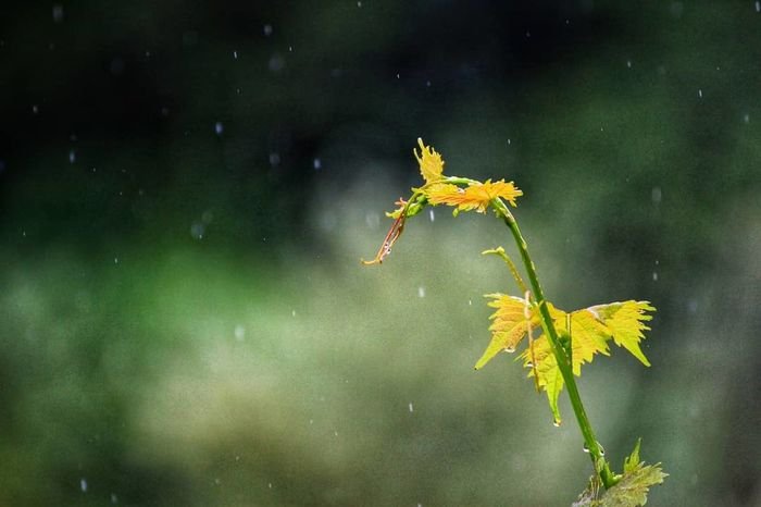 Leaf Autumn Flower Beauty In Nature Nature Plant Outdoors Green Color Fragility Close-up Growth Freshness Vines And Leaf Raindrops Rain Outdoor Photography Eye4photography  Loza