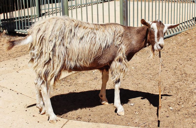 Just a goat and his stick Stick - Plant Part Goat Goat Life Animal Pen Outdoors Animal Wildlife Land Standing Nature Herbivorous No People Day Fence Sunlight Vertebrate Pets Domestic Animal Themes Livestock Animal Mammal Domestic Animals