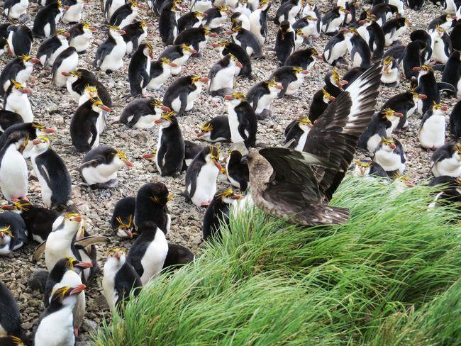 Hunting Skua over Royal Penguin colony Penguin Colony Nature Sub Antarctics Bird Near Threatened Chick Wildlife Royal Penguin Skua Sub Antarctic Skua Day Outdoors Nature
