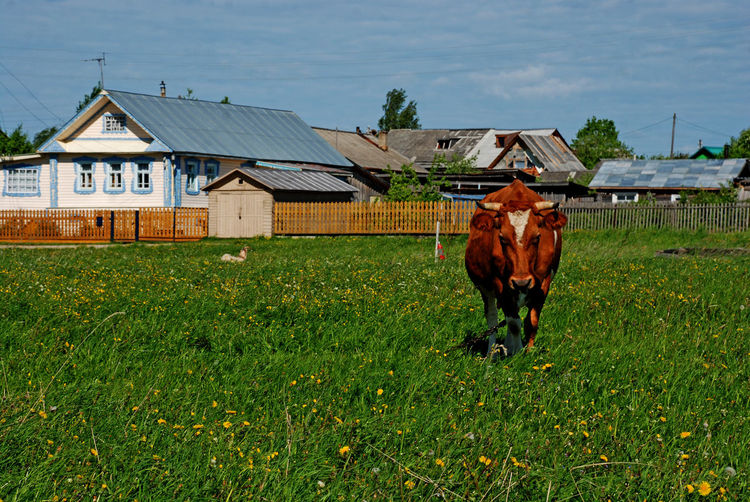 Ouglitch Russia Animal Animal Themes Architecture Building Exterior Built Structure Cow Field Grass Green Color Herbivorous House Land Nature No People One Animal Outdoors Plant Roofs Sky Vertebrate