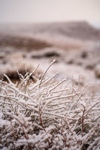 morning snowfall flakes cling to stems of dry desert plants in Eastern Sierra Nevada mountain valley winter landscape in California No People Land Nature Plant Day Tranquility Close-up Selective Focus Focus On Foreground Beauty In Nature Outdoors Desert Snowfall Desert Snow Desert Plants Desert Landscape Sierra Nevada Snow
