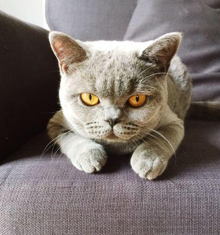 British Shorthair Cat♡ Cat Lovers Cat