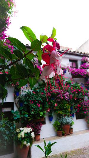 Pink Color Flower Flores Colors Springtime Plant Patios De Córdoba Pendientesdelareina Plant Life Petal