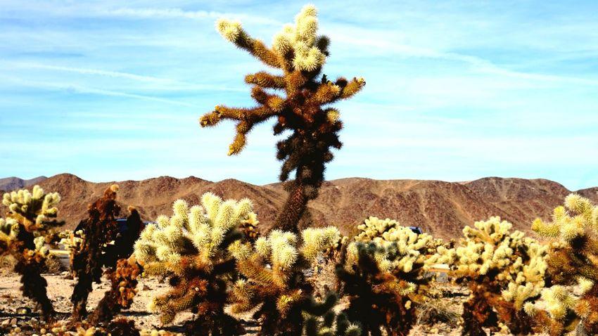 Cholla Tree EyeEm Gallery EyesEm Selects EyeEm Best Shots Tree_collection  Alone No People Desert Cactus Growth Plant Cloud - Sky Mountain Range Outdoors Tranquil Scene Tree Landscape