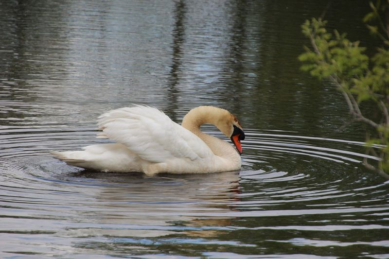 Animal Themes Swan Swimming Lake Water Waterfront Outdoors No People