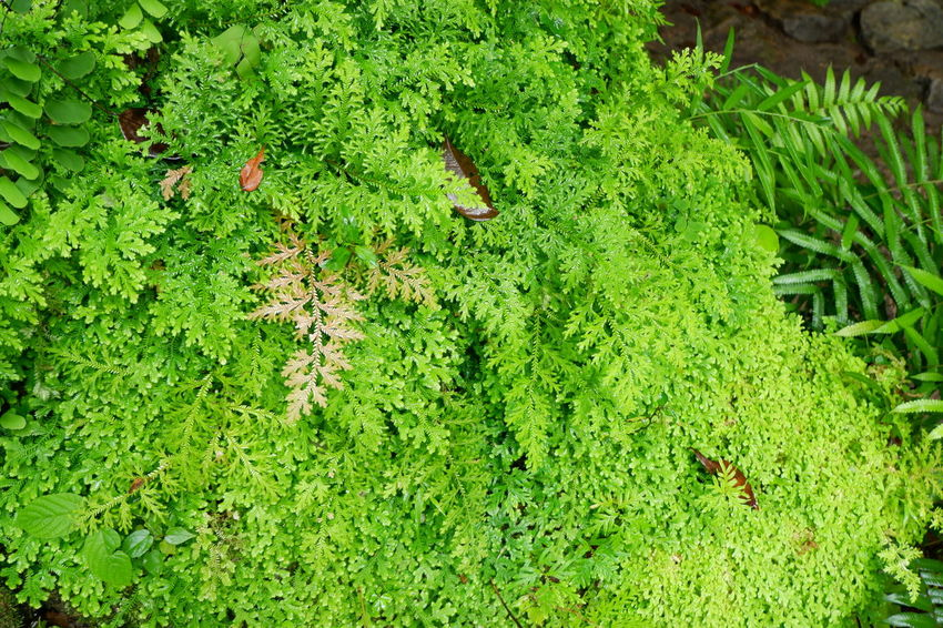 green fern on rock Road Selaginellaceae Spike Moss Beauty In Nature Close-up Day Environment Fern Foliage Freshness Green Green Color Growth High Angle View Land Leaf Lush Foliage Moss Nature No People Outdoors Plant Plant Part Selaginella Springtime Stone Tranquility Water