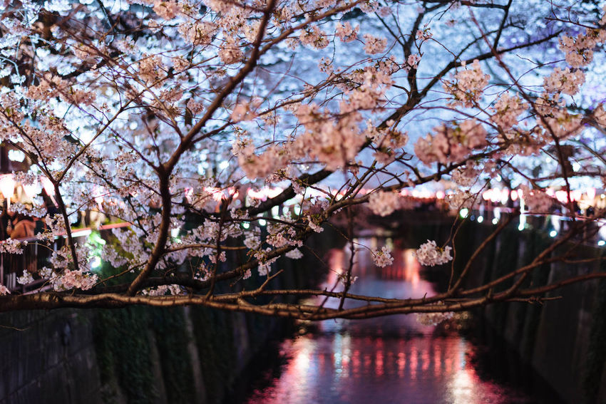Cherry Blossoms in Meguro Beauty In Nature Blossom Branch Close-up Day Flower Fragility Freshness Growth Nature No People Outdoors River Sakura Scenics Sky Spring Springtime Tranquility Tree Water