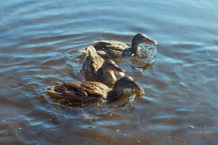 Ducks Animal Themes Animals In The Wild Beautiful Beauty In Nature Bird Day Duck Karelia Lake Nature Nature Photography Nature_collection Russia Summer Swimming Warm Water Water Bird вода карелия красота лето Природа птицы Россия