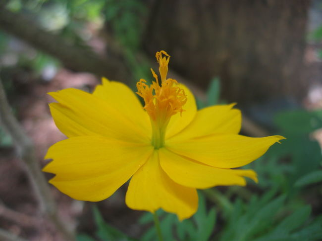 does anyone know the name of this flower ? Low Light Exceptional Photographs Simple Quiet Love The Purist (no Edit, No Filter) Enchanting India CanonA580 Color Colorful ASIA Enjoying Life Relaxing Photography Art is Everywhere Freshness Growth Leisure Activity Capture The Moment Flower Yellow Flower Head Petal Plant Nature Fragility Outdoors Blossom Close-up Focus On Foreground Springtime Beauty In Nature