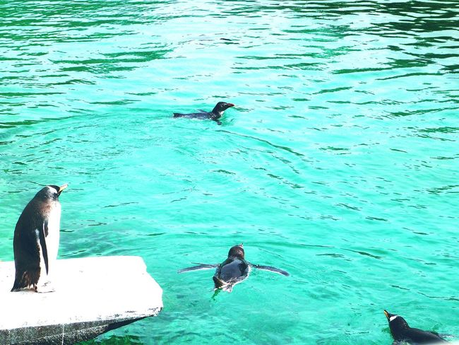 Penguins swimming! Penguins Blue Swimming Zoo Cute Clear Water Animals Cute