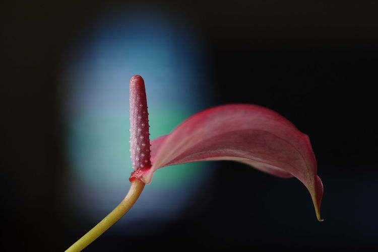 Close-up of pink flower bud