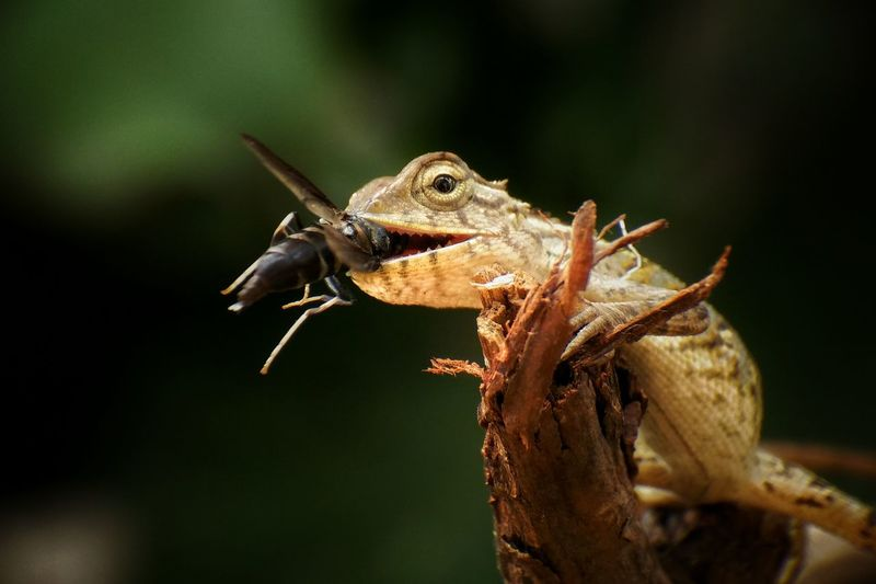Close-up of chameleon eating insect on branch