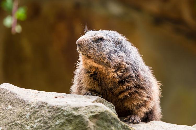 Close-up of a meerkat looking away
