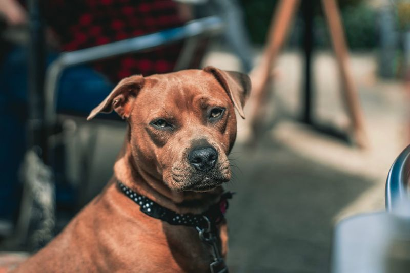 Dog Canine Dog One Animal Domestic Pets Domestic Animals Animal Themes Mammal Focus On Foreground Close-up Animal Body Part Pet Collar Looking At Camera Incidental People Looking Animal Vertebrate Portrait Collar Brown