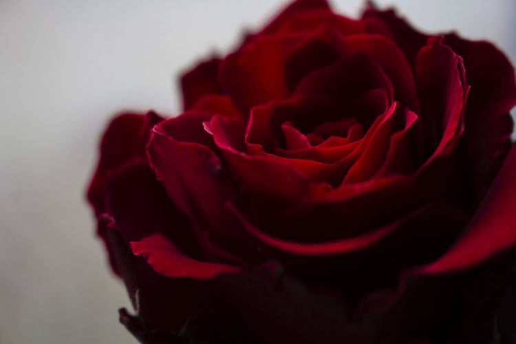 Pure Rose Bokeh