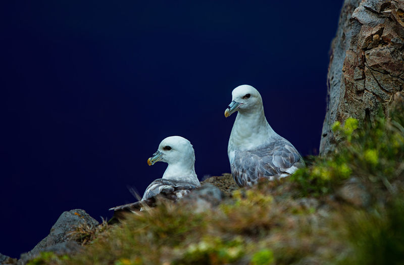 Animal Wildlife Animal Animal Themes Animals In The Wild Group Of Animals Bird Nature No People Rock Two Animals Selective Focus Copy Space Blue Outdoors Marine Rock - Object Water Fulmar