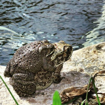 Bangkong Korodok. Frog Katak Kodok Bangkong animals amphibi frogs binatangamphibi