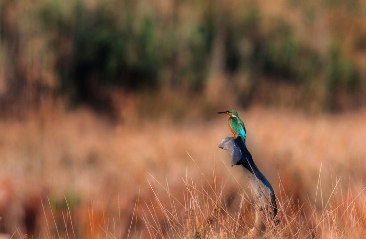 Animal Themes Animal Wildlife Animals In The Wild Beauty In Nature Bird Day Grass King Fisher Kingfisher Nature Nature Nature Photography Naturephotography Night No People One Animal Outdoors Perching Plant