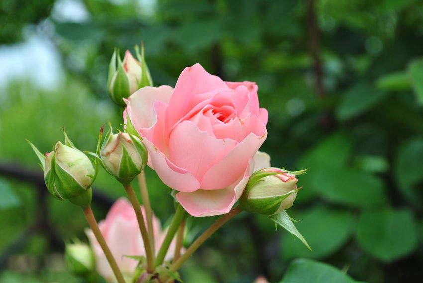 Happy Love Wedding Beauty In Nature Blooming Close-up Day Flower Flower Head Focus On Foreground Fragility Freshness Growth Leaf Nature No People Outdoors Petal Pink Color Plant Rose - Flower