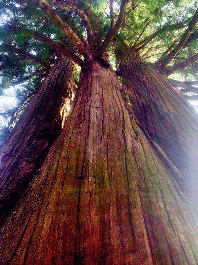 長野県 戸隠 戸隠神社中社 戸隠の三本杉の 御神木 神話も存在する パワースポットに、なります。皆様 触って 神秘的な力強いパワーもらってました。 Tree Low Angle View Nature Tree Trunk No People Growth Wood - Material Forest Outdoors Beauty In Nature Day 御神木 戸隠 Tree Nature Autumn Nature Reserve Landscape Beauty In Nature Change Tree Area