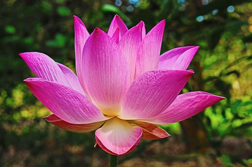 Nature Flower 700D Lotus Flower Vietnamese Common Beauty In Nature Lotus♥ Growth How beautiful nature is in spring!