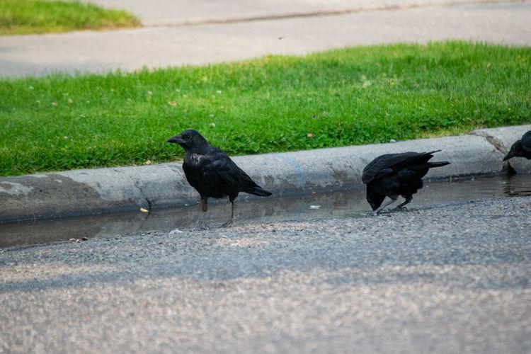 Black birds on a road