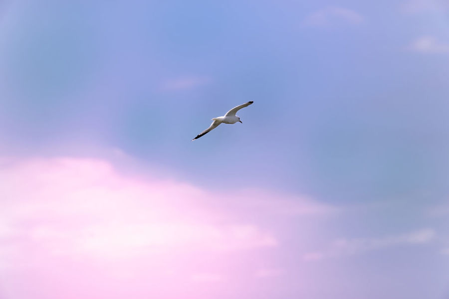 Seagull in the sky Animal Animal Themes Animal Wildlife Animals In The Wild Beauty In Nature Bird Cloud - Sky Colorful Flying Freedom Low Angle View Mid-air Motion Nature No People One Animal Seagull Sky Spread Wings Vertebrate