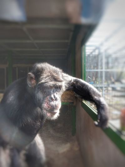 chimpanzee Portrait Prison Cage Ape Zoo Animals In Captivity Close-up Sky Primate Confined Space Monkey Animal Eye