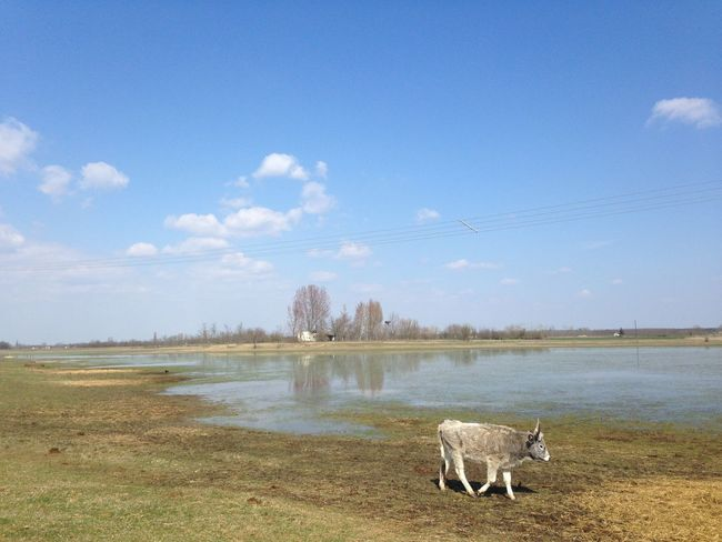 Hungarian Gray Cattle Beauty In Nature Blue Copy Space Day Field Grass Gray Cattle Idyllic Lake Lakeshore Landscape Nature No People Non-urban Scene Outdoors Scenics Sky Things I Like Tranquil Scene Tranquility Tree Water