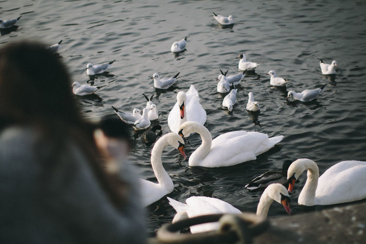 Water Nature Bird Day Outdoors Swan No People Animals In The Wild Animal Themes Animal Wildlife Large Group Of Animals Lake Swimming White Color Water Bird High Angle View Flock Of Birds Togetherness Beauty In Nature