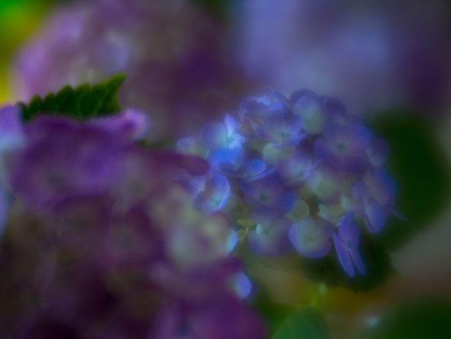 Flowers Nature Hydrangea 紫陽花 Flowerporn EyeEm Nature Lover