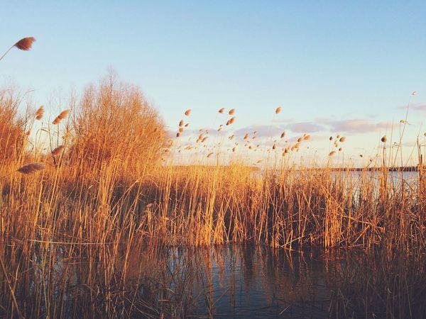 Reed Sunset Landscape Nature Vilkovo Danube