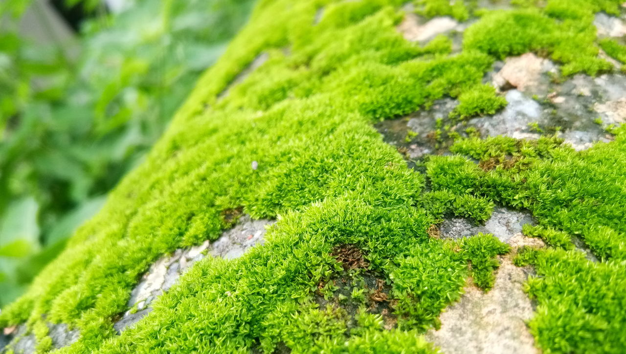 green color, moss, nature, growth, plant, close-up, selective focus, no people, outdoors, beauty in nature, grass, day, lichen, fungus, freshness, tree, toadstool