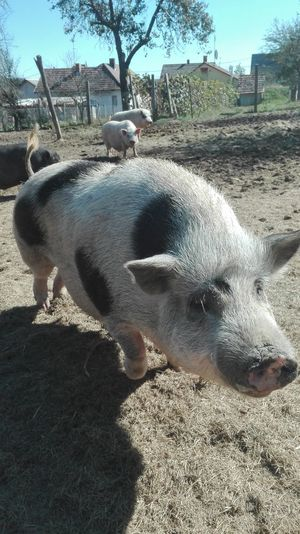 Diszno Pig Pets Shadow Sunlight Dog Tree Sky Zoo Piglet