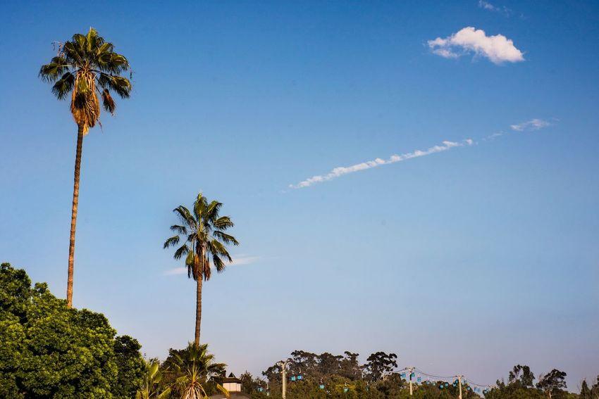 California San Diego Balboa Park EyeEm Selects Tree Palm Tree Photography Themes Blue Tropical Climate City Sky Travel Tropical Tree Coconut Palm Tree Frond Tranquility Scenics