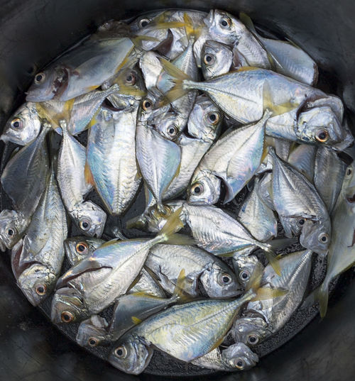 High angle view of mackerels in container